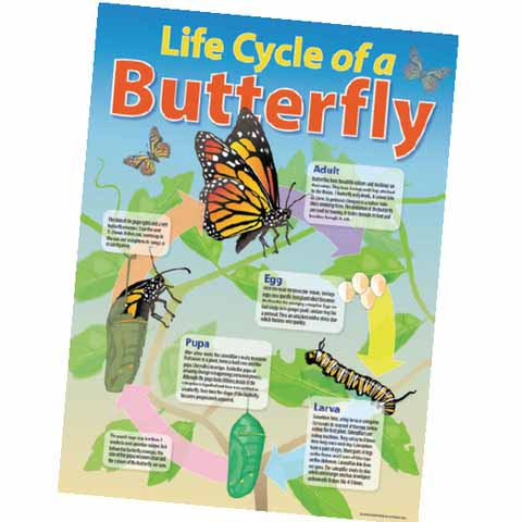 Life Cycle of a Butterfly Chart