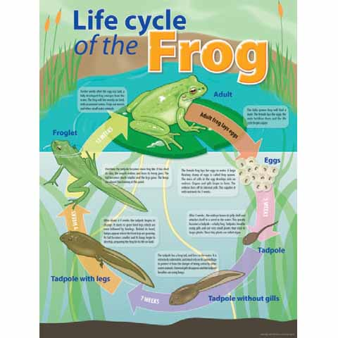 Life Cycle of a Frog Chart